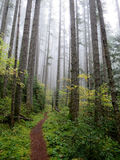 Pacific Northwest Forest. A trail through a foggy Pacific Northwest forest Royalty Free Stock Image