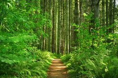 Pacific Northwest forest trail. A picture of an Pacific Northwest Washington state forest with a hiking trail Royalty Free Stock Photography