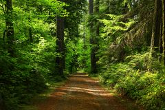 Pacific Northwest forest trail. A picture of an Pacific Northwest Washington state forest with a hiking trail stock images