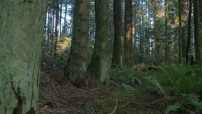 Pacific Northwest Forest Tree dolly shot stock footage