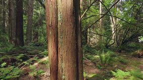 Pacific Northwest Forest Undergrowth dolly shot. A dolly shot past a tree in a temperate rainforest of the Pacific Northwest stock footage
