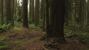Pacific Northwest Forest Undergrowth stock video