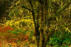 Pacific Northwest forest and Vine maple tree. A picture of an Pacific Northwest Washington state forest and Vine maple tree in winter royalty free stock photo