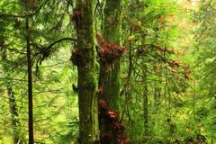 Pacific Northwest forest and Vine maple trees. A picture of an Pacific Northwest Washington state forest and Vine maple trees royalty free stock photos