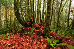 Pacific Northwest forest and Vine maple trees. A picture of an Pacific Northwest Washington state forest and Vine maple trees royalty free stock photo
