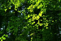 Pacific Northwest forest and Vine maple trees. A picture of an Pacific Northwest Washington state forest with Vine maple trees in summer stock photo
