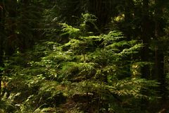 Pacific Northwest forest and Western hemlock tree. A picture of an Pacific Northwest Washington state forest with a young growth Western hemlock tree royalty free stock images
