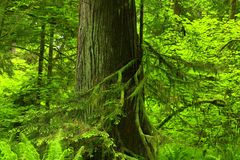 Pacific Northwest forest and Western red cedar. A picture of an Pacific Northwest Washington state Royalty Free Stock Photo