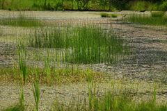 Pacific Northwest lake and water reeds. A exterior picture of an Pacific Northwest fresh water lake with water reeds Stock Image