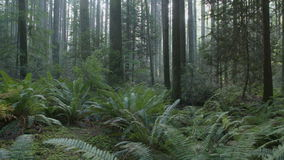 Pacific Northwest Lush Forest Floor dolly shot stock video