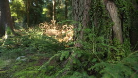 Pacific Northwest Moss Covered Tree stock video