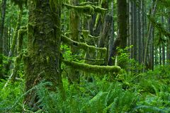 Pacific Northwest Rainforest Stock Images