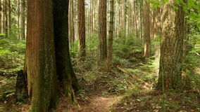 Pacific Northwest Rainforest Dolly Shot stock video