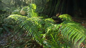 Pacific Northwest Rainforest Ferns and Rain. A dolly shot past ferns in a lush, Pacific Northwest second growth temperate rainforest stock video