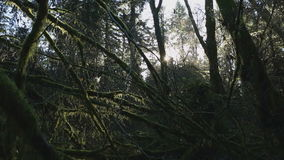 Pacific Northwest Rainforest Moss dolly shot. Trees and branches, covered in moss, backlit by sun in a Pacific Northwest rainforest stock footage