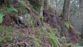 Pacific Northwest Rainforest Rock Slope. 4K. UHD stock video footage