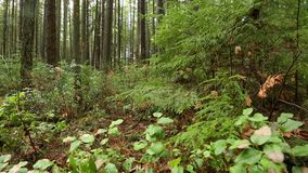 Pacific Northwest Rainforest Undergrowth. A dolly shot, in lush undergrowth, of a Pacific Northwest second growth temperate rainforest stock footage