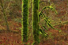 Pacific Northwest rainforest and Vine maple trees. A exterior picture of an Pacific Northwest Washington state rainforest with Vine maple trees royalty free stock images