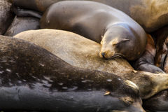Pacific Northwest Sea Lions and Seals Royalty Free Stock Photo