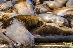 Pacific Northwest Sea Lions and Seals Stock Image