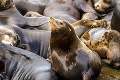 Pacific Northwest Sea Lions and Seals Royalty Free Stock Photography