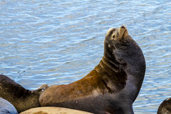 Pacific Northwest Sea Lions and Seals Stock Images