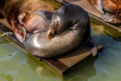 Pacific Northwest Sea Lions and Seals Royalty Free Stock Images