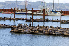 Pacific Northwest Sea Lions and Seals stock photos