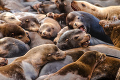 Pacific Northwest Sea Lions and Seals Royalty Free Stock Photos