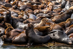 Pacific Northwest Sea Lions and Seals Royalty Free Stock Image
