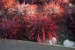 Pacific Northwest Sea Urchins Royalty Free Stock Images
