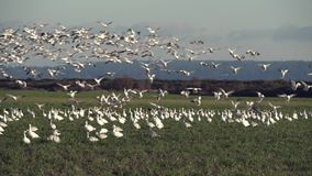Pacific Northwest Snowgeese 4K UHD stock video footage