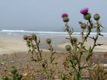 Pacific ocean beach thistles Stock Image