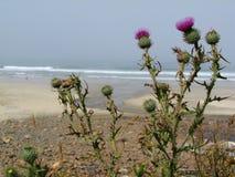 Pacific ocean beach thistles. Purple thistle plants at a Pacific ocean beach stock image