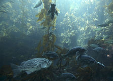 Pacific Ocean Kelp Forest Stock Photos