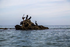 Pacific ocean sea birds Cormorant and Pelicans on rocks Royalty Free Stock Photography