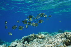 Pacific ocean shoal fish whitespotted surgeonfish Royalty Free Stock Images