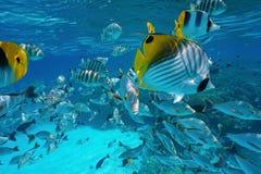 Pacific ocean tropical shoal of fish underwater Stock Photos