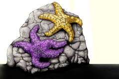 Pacific ochre sea star illustration Stock Photo