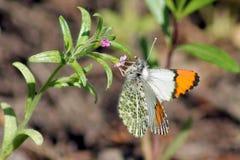 Pacific Orangetip Butterfly - Anthocharis sara. A Pacific Orangetip Butterfly (Anthocharis sara) feeding on a wildflower stock photos
