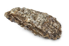 Pacific oyster. Whole single Pacific oyster on white background Royalty Free Stock Photo