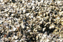 Pacific oysters growing on rock in the ocean. Stock Photos