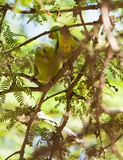 Pacific Parrotlet couple Stock Photography