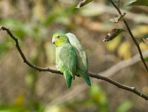Pacific Parrotlet,Forpus coelestis. A couple of wild Pacific Parrotlets perching on  a branch in their native habitat. These birds are also known as Lessons Royalty Free Stock Photography