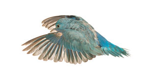 Pacific Parrotlet, Forpus coelestis, flying Stock Photos