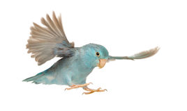 Pacific Parrotlet, Forpus coelestis, flying stock image