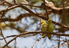 Pacific Parrotlet's couple Stock Image