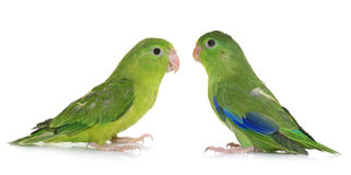 Pacific parrotlet in studio Royalty Free Stock Photos