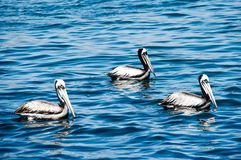 Pacific Pelicans Royalty Free Stock Photos