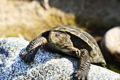 Pacific pond turtle Royalty Free Stock Photography